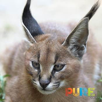 Cabo Desert Lynx