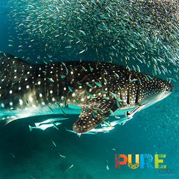 Cabo Whale Shark Tour